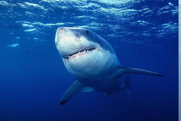 Акулы боятся дельфинов.