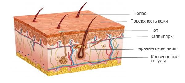 Структура кожи человека
