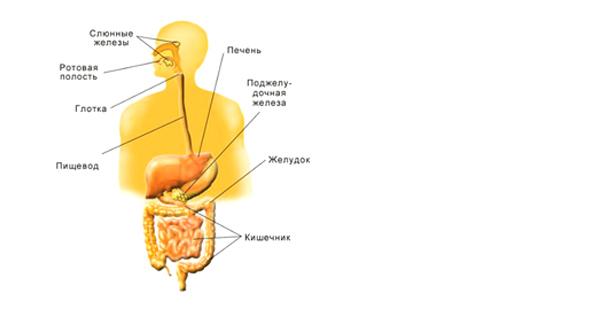 Как устроен организм человека Детская онлайн энциклопедия Хочу  Схема пищеварительной системы человека
