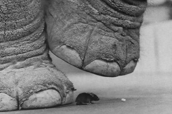 Слон наступает на мышь.