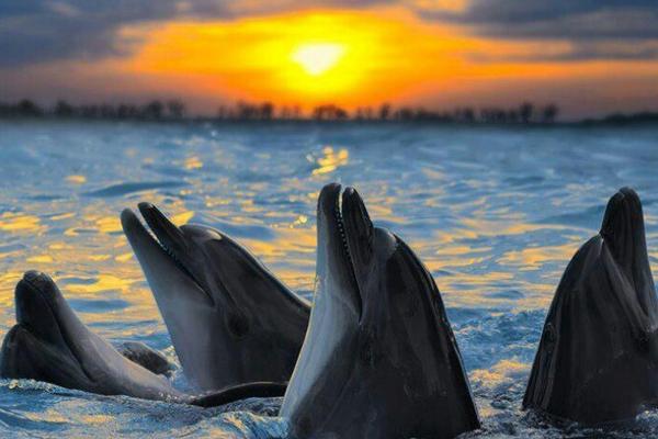 Язык дельфинов.